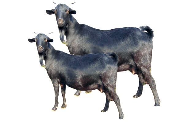 柯柱黑山羊