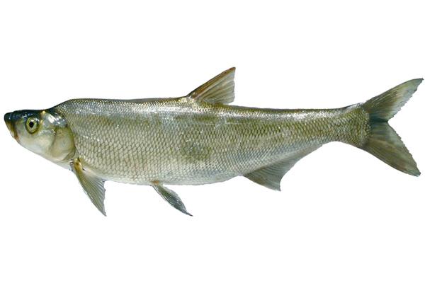 生态翘嘴鱼